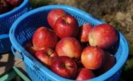 宮嶋林檎園の葉取らずりんご シナノドルチェ 約5kg