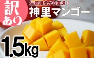 【訳あり】2021年発送 生産組合から直送!神里マンゴー1.5kg