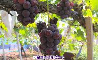 岡山県産 ニューピオーネ(種無し)約1kg(2房)