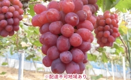 ●先行予約受付●岡山県産 冬のぶどう 紫苑(種無し)約1.2kg(2房)