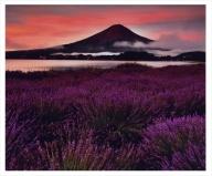 富士山写真大賞  額装写真「黎明のラベンダー 大石公園」(全紙  額装サイズ約530×640mm)