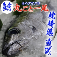 枕崎港「獲れたて キハダ マグロ(シビ)」まるごと一尾    鮪 まぐろ