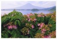 富士山写真大賞  額装写真「ネムノキと富士 大石公園」(全紙  額装サイズ約530×640mm)
