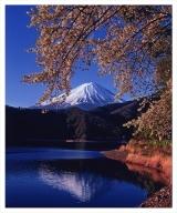富士山写真大賞  額装写真「黄金の花房 河口湖にて」(全紙  額装サイズ約530×640mm)