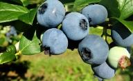 峠のふもと紅果園の摘みたて!完熟!生ブルーベリー約1kg(500g×2)