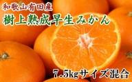 紀州有田産早生みかんの樹上熟成みかん7.5kg(サイズ混合) ※2022年1月中旬より順次発送
