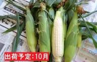 10月 朝採りホワイトショコラ約3kg・A品2L・7~9本程度  【山形とうもろこし・大江町産・明石農園】
