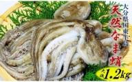 漁師直送!天然なま蛸/冷凍1.2kg