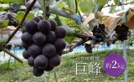 【早期予約】桃山ぶどう園の巨峰 約2kg(ハウス栽培)