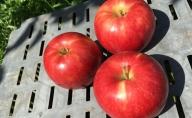 【贈答用】葉とらず 信州りんご サンつがる 約3kg 長野市産