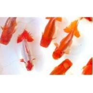 金魚「日本オランダ獅子頭 」C
