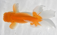 金魚「日本オランダ獅子頭 」E