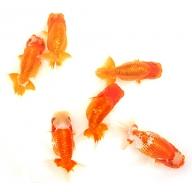 金魚の王様!らんちゅう(観賞用)