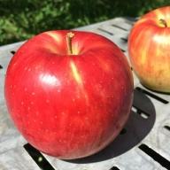 I-196-3 <贈答用>葉とらずりんご「サンつがる」10kg