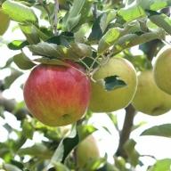 I-196-4 <家庭用>葉とらずりんご「サンつがる」2kg