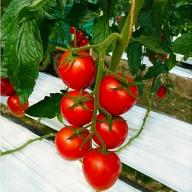 ごちそうトマト