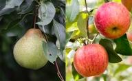 <くだもの直売もり園>北海道仁木町産千両梨&りんごセット約4.5kg