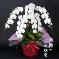 E60-024 大輪胡蝶蘭(5本立)