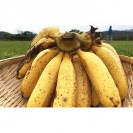 国産バナナを西表島からお届け!サンサンバナナ(サンジャクバナナ)約1kg