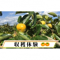治郎柿の収穫体験(お土産5kg付)