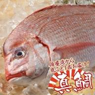 仮屋湾の真鯛