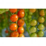 トマト3種食べ比べ(カリーナ・スプラッシュ・ごちそうトマト)計11パック