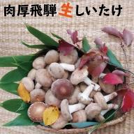 菌床 肉厚 生しいたけ 椎茸 シイタケ 1.5kg 飛騨・山之村産 しいたけ[A0103]