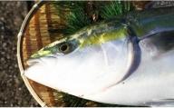 【期間限定】中山水産 養殖ブリ5kg~6kg E-27