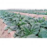 大作農園の寒締めちぢみほうれん草 約1.8kg