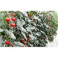 <2020年6月初旬よりお届け>北海道壮瞥町 大作農園 カラフルミニトマト狩り 30分×5回分チケット