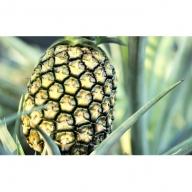 西表島『たくみ農園』の島パイン(ハワイ種)4kg(3~4玉)