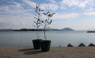 オリーブ苗木 2品種(4号ポット)