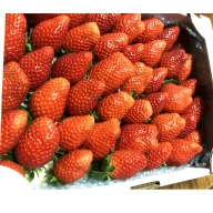 <バラ詰め>宮崎県産いちご 1.1kg※2020年3月初旬から5月中旬までの収穫期間内出荷