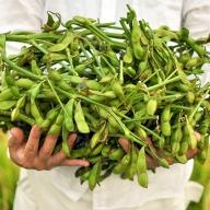 農家より食べごろ発送!枝つき丹波黒枝豆 茹で方レシピ付