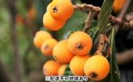 「島育ち!」初夏の味覚「びわ」 約1kg