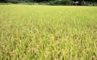 【令和2年新米予約】高原さんの もち米(クレナイ)玄米10kg