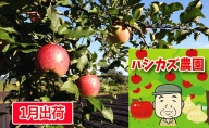 田子のサンふじ王林セット約10kgご家庭用 ハシカズ農園生産直送