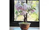 【2636-0101】【例年4月頃開花】桜盆栽