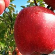 旬のおすすめ林檎 約3kg×1箱(目安:7~9玉) 【結城果樹園】