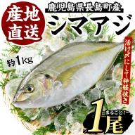 シマアジ 1匹 約1.0~1.3kg_jfa-4121