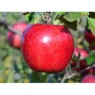 りんご【サンふじ】14~ 20玉 約5kg【12月上旬から順次発送】