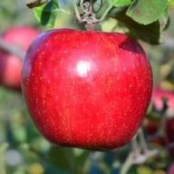 りんご【サンふじ】 28~32玉 約10kg【2020年産・先行受付】