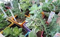 多肉植物セット(24種類)