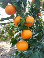 農園完熟果実絞り 国産(美浜町産)温室みかん100%ジュース 小瓶6本ギフト箱