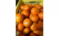 【2021年2月中旬以降出荷】希少な春柑橘『津之輝(つのかがやき)』 約5kg〈赤秀/贈答用にも〉
