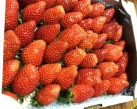 <バラ詰め>宮崎県産いちご 1.1kg※2021年3月初旬~5月中旬の収穫期間内に出荷【A186】