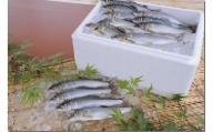 塩焼き用 活〆鮎 1kg