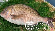 【AF-19】足摺めぐみ鯛 活〆まるごと(下処理可)約1.5kg(1~2匹)